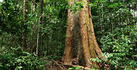 MMA regula extração de madeira de espécies da flora sob ameaça