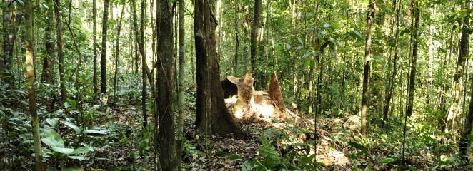 Projeto Gestão de Florestas do Amapá lança edital para contratação de consultor