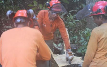 (Português do Brasil) Manejo florestal comunitário na Resex Verde para Sempre é objeto de pesquisa