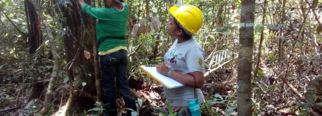 (Português do Brasil) Inventário amostral apontou potencial madeireiro na Resex Arióca Pruanã